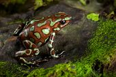 golden poison frog, dendrobates auratus lives in the central american rain forest of Panama. Beautif