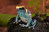 poison frog of amazon rainforest. Beautiful tropical jungle animal. This amphibian is an endangered species and needs nature conservation. bright blue yellow colors