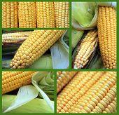 Corn collage