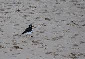 An Oystercatcher On The Beach At Bournemouth poster