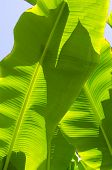 Green Banana Palm Tree Fronds
