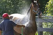 Horse Being Bathed