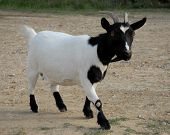 foto of nac  - beautiful miniature goat white and black in a farm - JPG