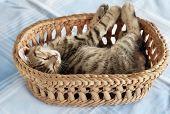 Adorable Kitty Sleeping In Basket