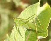 Katydid On Leaf