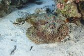 Stonefish Lying On The Seabed