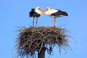 Pair of storks