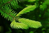 Young Branch Of Fir Tree.