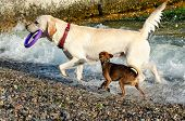 White Labrador Retriever And A Little Cute Red Dog Playing On The Beach. Labrador Carries A Purple R poster