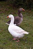 Domestic geese, Hampshire U.K