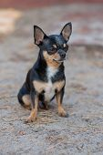 Small Dog, Chihuahua.chihuahua Dog On The Sand In The Forest.a Series Of Photos With A Small Dog.a P poster