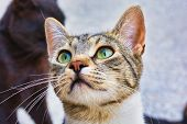 Close-up Photo Of A Grey And White Stray Cat, Young Male Kitty With Beautiful Green Eyes poster