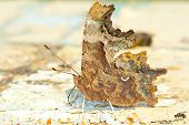 comma butterfly extreme close-up / Poligonia C-album