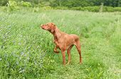 Vizsla Dog (hungarian Pointer) Pointing In A Field
