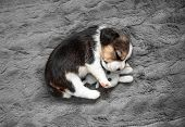 Little beagle puppy sleeps with a toy poster