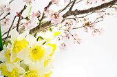 image of cherry blossom  - Cherry blossoms and yellow narcissus arranged in early spring