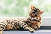 Cat grooming himself cleaning his fur while resting on window sill. Bengal cat. Spines on the cats  poster