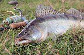 Fishing Catch - Zander