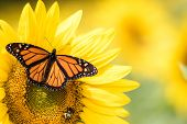 Monarch Butterfly, Danaus Plexippus, On Bright Yellow Sunflower On A Sunny Summer Morning poster