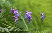 Vicia Villosa Flower, Known As The Hairy Vetch, Fodder Vetch Or Winter Vetch poster