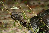 Turtle Walking Behind Brush