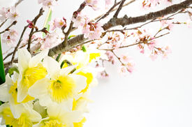stock photo of cherry blossoms  - Cherry blossoms and yellow narcissus arranged in early spring  - JPG