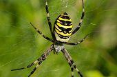 Closeup Wasp Spider Argiope Bruennichi Spiderweb