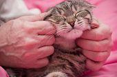 Human hand pets a Scottish-straight gray beautiful cat