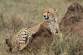 Cheetah Acinonyx Jubatus In The Serengeti