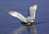 Gull Crash Landing