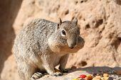 Squirrel (sciuridae)