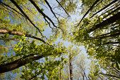 View Looking Up Through Canopy Of Beech Trees On Bright Day