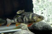 Peixe Perca fluviatilis