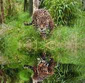 Stunning Jaguar Panthera Onca Prowling Through Long Grass Reflected In Calm Water