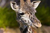 Angry Giraffe