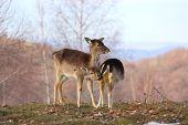 Deer Doe And Calf