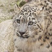 Curious Snow Leopard