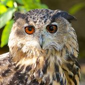 Eagle Owl Frontal