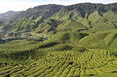 Beautiful tea Farm