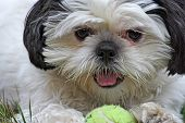 Shih Tsu And Ball