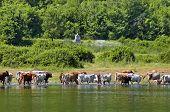 Cow grazing at lake