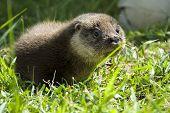 Orphaned otter