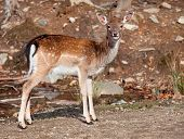 stock photo of bambi  - Fallow Deer Looking at the Camera - JPG