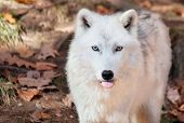 Arctic Wolf Sticking his Tongue Out at the Camera