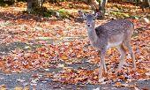 Fallow Deer Looking at the Camera
