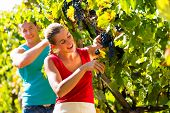 Man and woman - winegrower - picking grapes with shear at harvest time in the vineyard