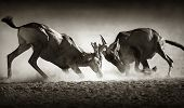 stock photo of dominate  - Red hartebeest dual in dust  - JPG