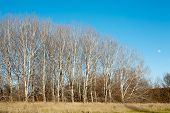 picture of denude  - Stand of Trees in Winter with no foliage  - JPG