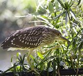 Black-Crowned Night-Heron Walking On The Fence