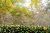 Green Hedge With Autumn Leaves And Blurry Background